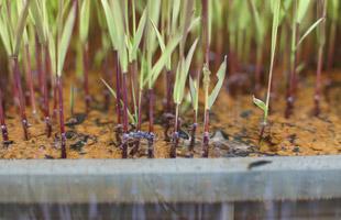 黒米の苗はすでに茎が黒い。