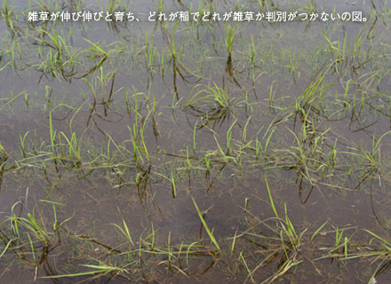 雑草が伸び伸びと育ち、どれが稲でどれが雑草か判別がつかないの図。