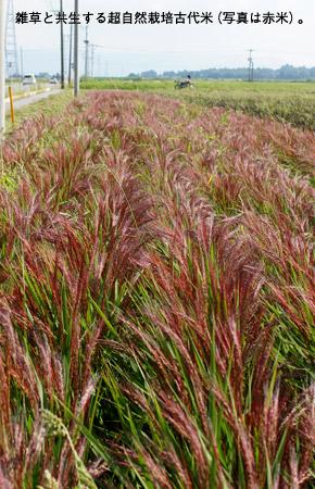 雑草と共生する超自然栽培古代米(写真は赤米)。