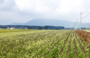 三色に染まる田んぼ。よく見ると草だらけ。