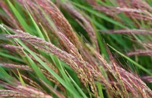 その名の通り赤色になった赤米の穂。