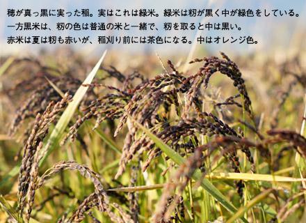 稲刈り直前の緑米。