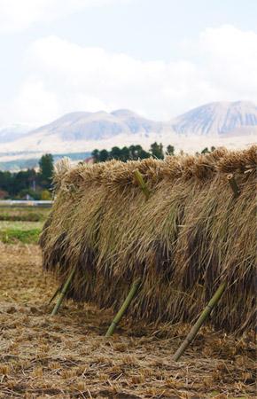 掛け干し中の緑米。バックには雄大な阿蘇山。