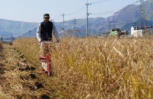 バインダーで稲を刈る店長。