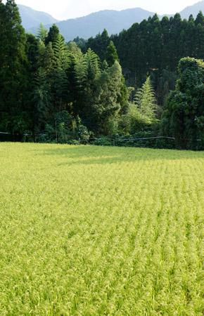 雑草が全く見当たらない田んぼ。