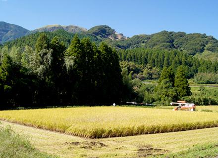 稲刈り中の田んぼ。