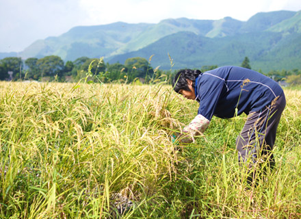 稲刈り前に手刈りを行う五嶋さんの奥さん。