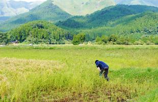 田んぼのすぐ近くには阿蘇外輪山がそびえる。