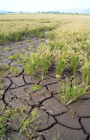 土砂により埋まった田んぼ。