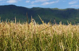 稲刈り前の稲穂。阿蘇外輪山をバックに。