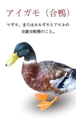 合鴨の写真。