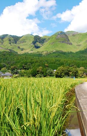阿蘇市狩尾にある五嶋さんの水田。バックには阿蘇外輪山を望む。