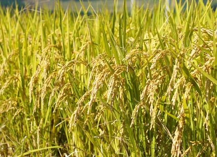 稲刈り前の後藤さんのヒノヒカリ。