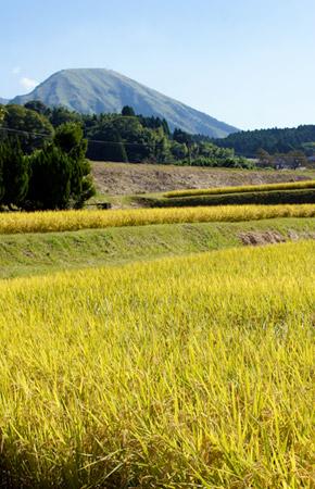後藤さんの田んぼ。後ろには阿蘇山が見える。