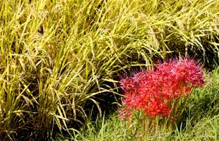 畦に咲く彼岸花。