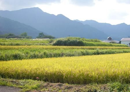 阿蘇外輪山の山麓にある井芹さんの田んぼ。