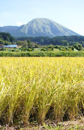 稲刈り前の田んぼ。背後には阿蘇山が見える。