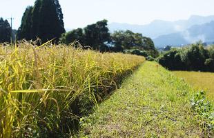 黄金色に実った稲たち。
