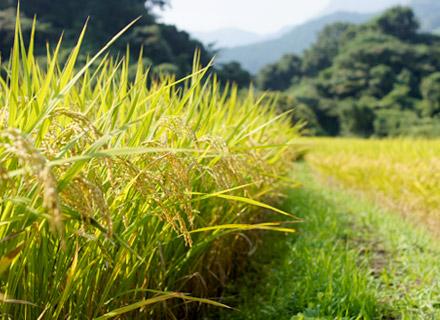 収穫直前の稲