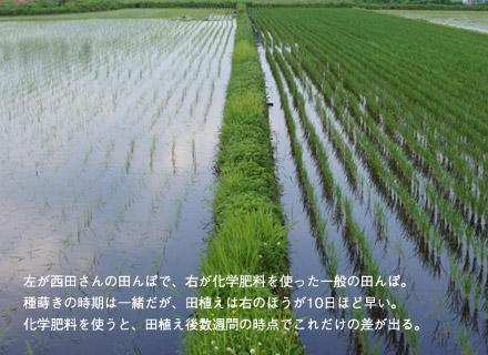 西田さんの稲と化学肥料を使った稲の比較。