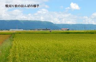 稲刈り前の田んぼの様子。