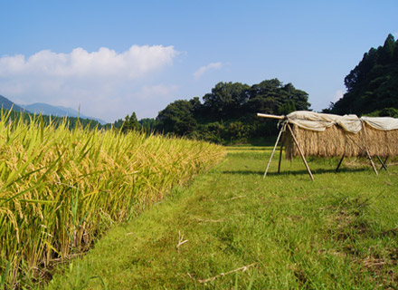 稲刈り前の田んぼと掛け干し。