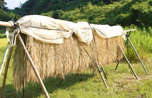 稲刈り前に刈り取られ掛け干しされた稲。