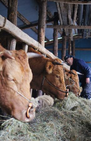 牧草を食べるあか牛たち。