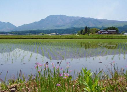 みるきぃくいーんの田植えの様子。バックには阿蘇山が見える。