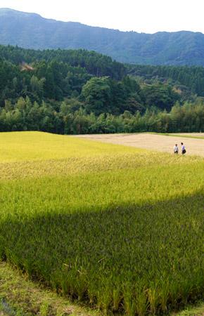 数種類の稲が植えられ縞模様に見える田んぼ。