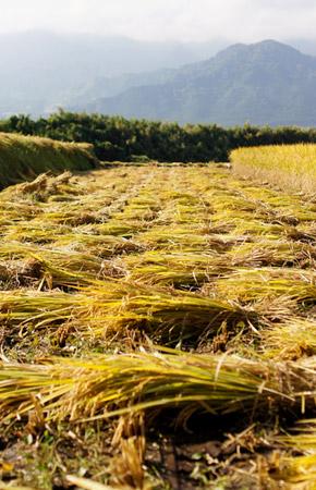 バインダーで刈り取った稲。