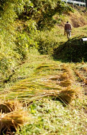 刈り取られた稲。