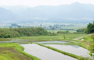 バインダーで刈り取られ、麻紐で結ばれている稲たち。