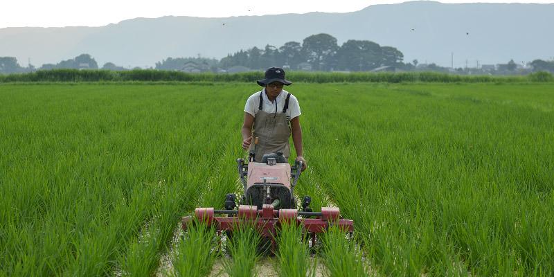 無農薬栽培の米作りの様子
