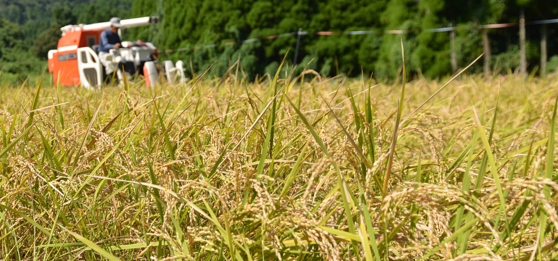 2016 New Rice