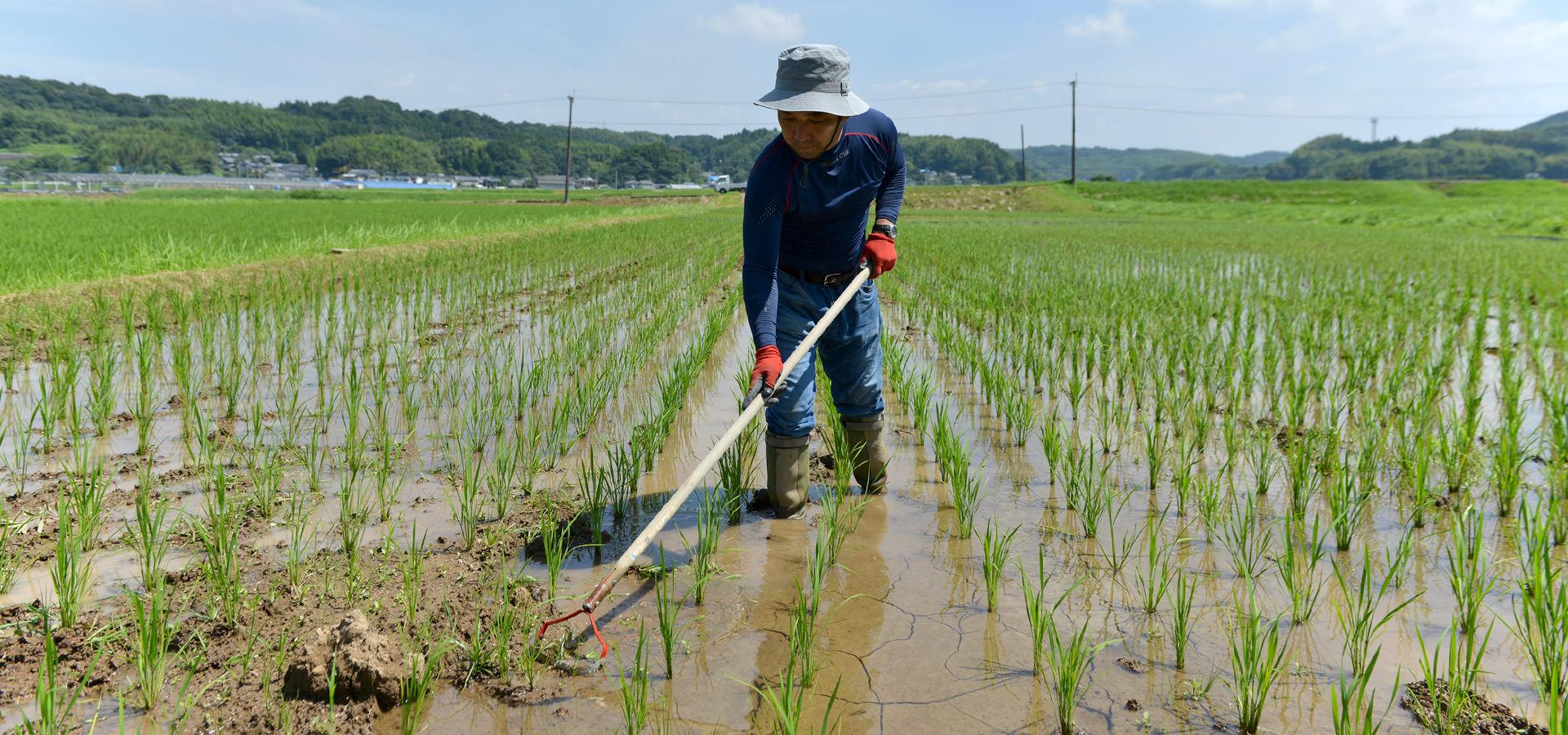 毛利秀幸さんが作る、無農薬・無施肥栽培ヒノヒカリ。
