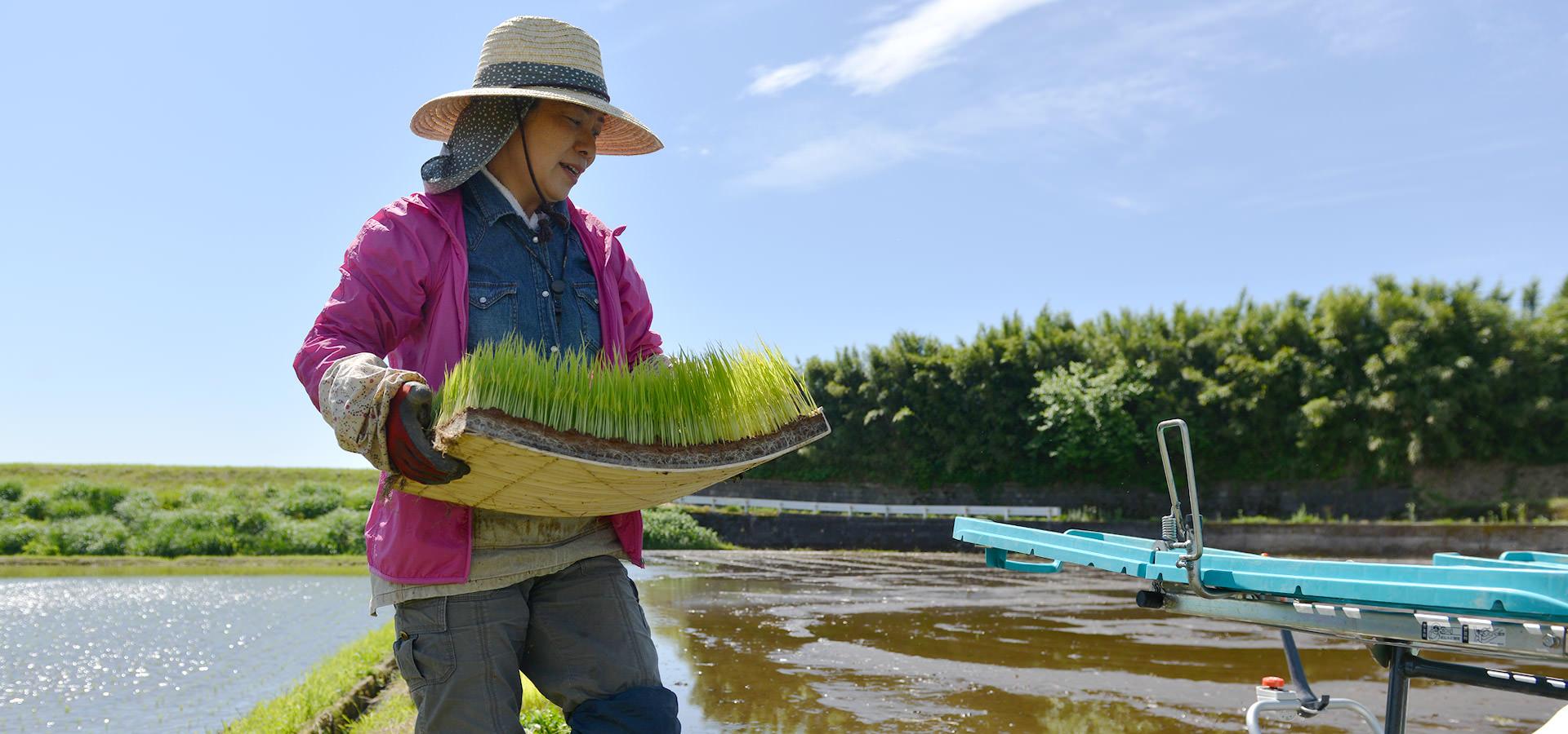 緒方睦美さんが作る、無農薬・無施肥栽培米。