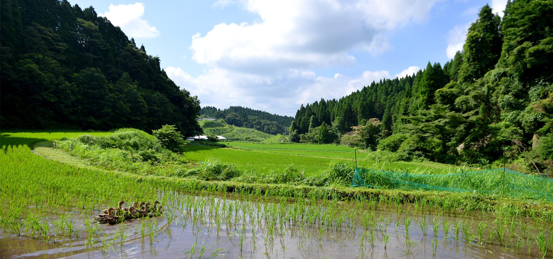 酒井忠晃さんが作る、アイガモ農法コシヒカリ。