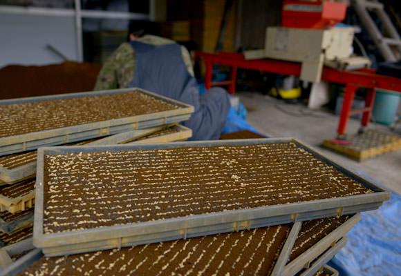 不織布シートの大きさに合わせて縦に四列ずつ並べていく。ハウスの中と違いドロドロの田んぼの中に苗箱を並べる作業はかなりの重労働だ。