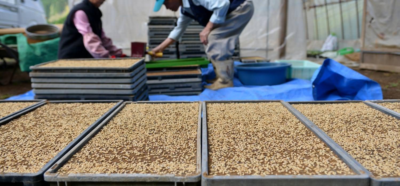 藤原さんの無農薬栽培米の種まき。