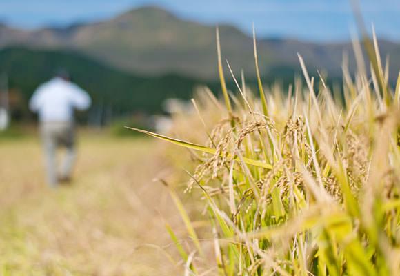 森のくまさんとヒノヒカリは晩生の品種だったために夏の天候不順の影響はあまり受けず、収量も例年通りだったとか。逆に早生のコシヒカリはやや収量が低下してしまった。早生も晩生も年によって一長一短なので、どの品種をどれだけ植えるか、毎年農家は頭を悩ませる。