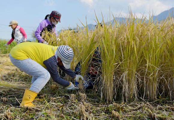 最初は下手だった鎌を使っての稲刈りの手つきも、数十株ほど刈る頃にはコツを掴んだのかすっかり慣れた手つきに。さすがに子どもは飲み込みが早い。