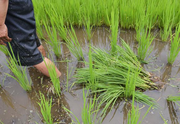 立っているのがイネ、抜かれて横たわっているのがヒエ。この時期のイネとヒエは見た目では区別がつきにくいためベテラン農家でなければ除草は難しく、同じスタート地点から除草を始めても上の画像のように北野さんと学生たちでは除草のスピードがまるで違うのだ。