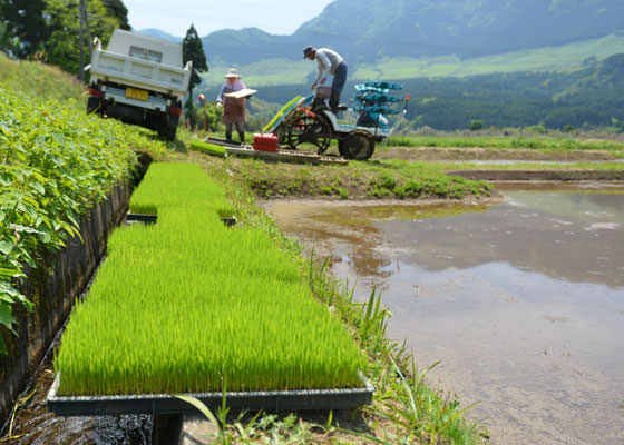 田植え機には全ての苗は載らないため定期的に補給する必要がある。こうしてあらかじめ畦に並べておけばすぐに積むことができるのだ。