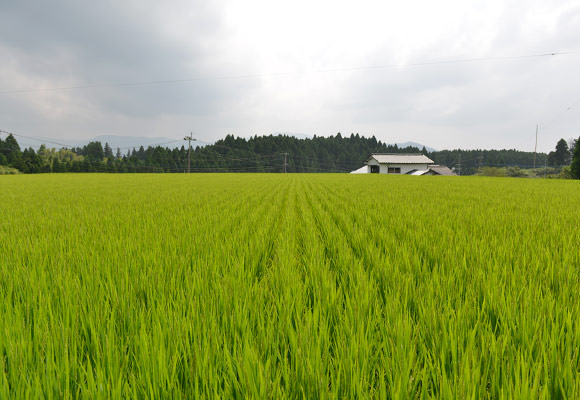 広々した田んぼ。今年は全部で4反ほどを無農薬栽培で作ったという。これほどの面積を手で隅々まで除草したというから驚き!