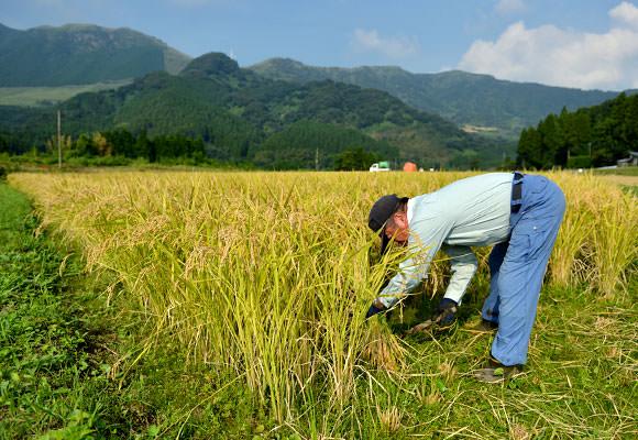 まずは下準備としてコンバインの旋回する田んぼのコーナー部分を鎌で手刈り。刈った稲は最後にコンバインにかけて脱穀します。これらの作業だけでも結構大変。