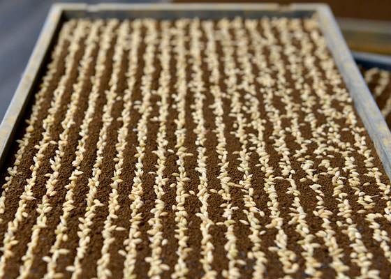 筋状にまかれた種籾。西田さんは一般の栽培の半分以下の量の種籾しかまかないため、苗をゆっくりと健康に育てることができる。