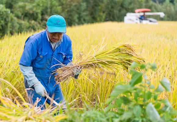 北野さんがコンバインで一枚目の稲刈りをしている最中、緒方さんは二枚目の田の稲刈りに備えるべく端を手刈りする。手刈りした稲は最後にコンバインにかけて脱穀するのだ。