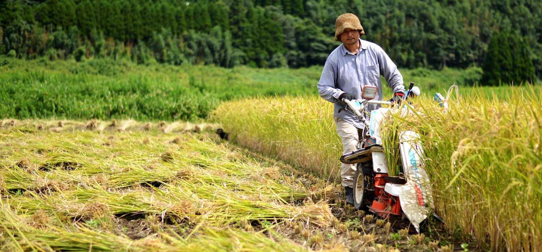 大森さんの自然栽培米の掛け干し。