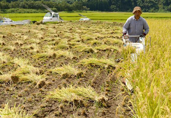 バインダーは刈り取った稲を麻紐で結んで進行方向の右側に排出していく機械。しばらく刈ると田んぼに扇型に広がった稲が等間隔に並んで非常に面白い。